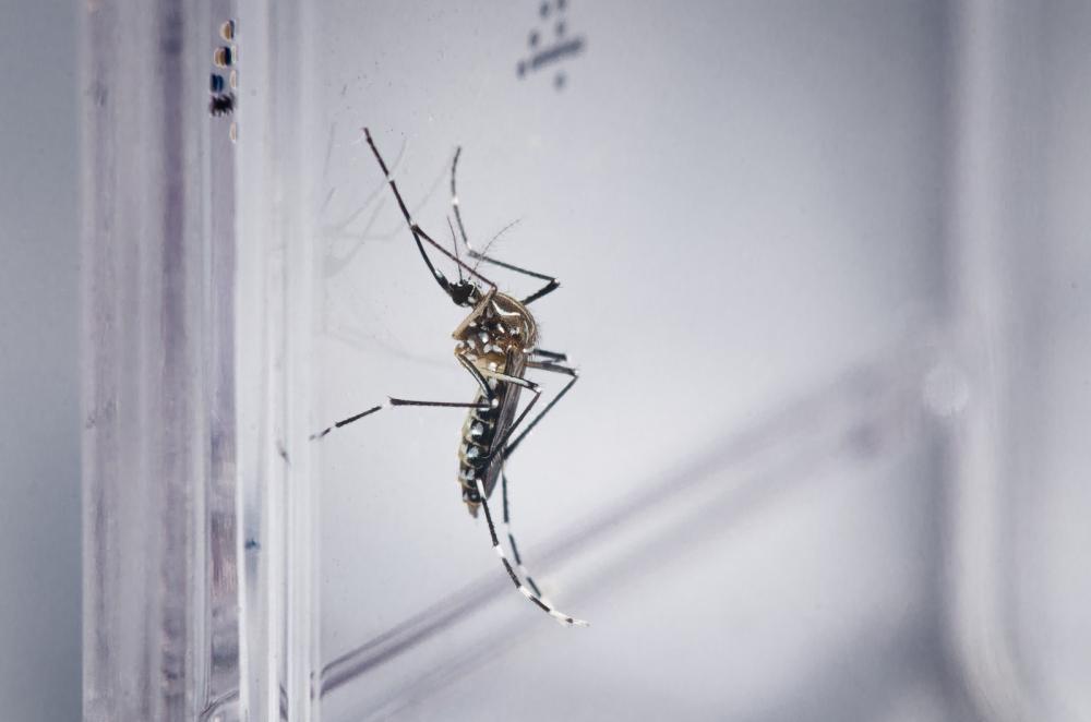 Aedes aegypti — Foto: Rodrigo Méxas e Raquel Portugal/Fundação Oswaldo Cruz/Divulgação
